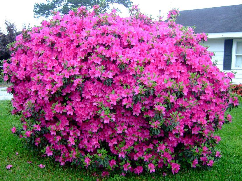Consejos pr cticos para el cuidado de las flores en - Azalea cuidados planta ...