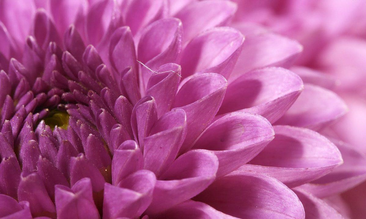 Consejos pr cticos para el cuidado de las flores en - Como cultivar crisantemos ...