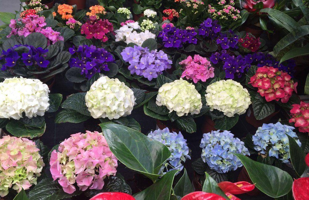 Consejos Practicos Para El Cuidado De Las Flores En - Color-de-las-hortensias