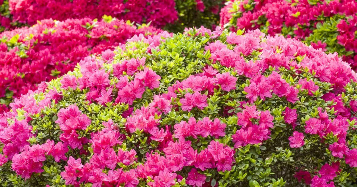 Cuidados de la azalea - Azalea cuidados planta ...