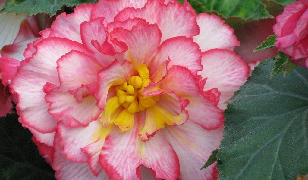 Cuidados de las begonias im genes y fotos - Cuidados de las hortensias ...