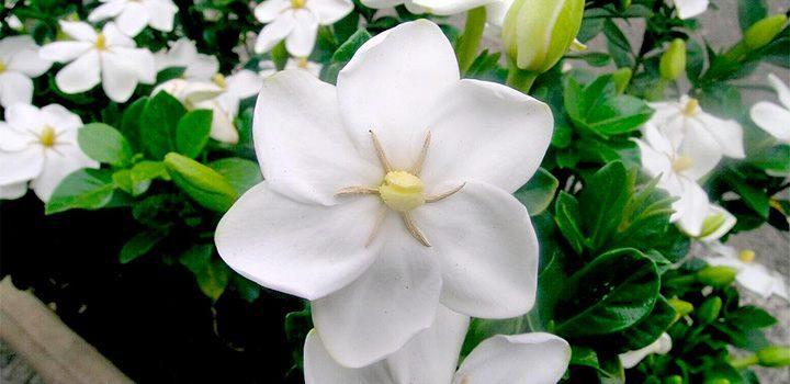 Cuidados de las gardenias - Cuidados de las hortensias ...
