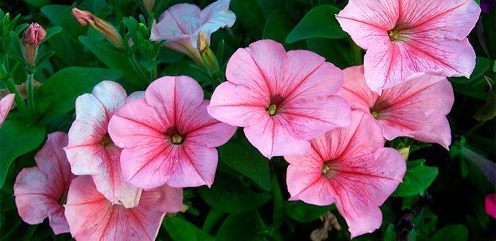 Cuidados de las petunias - Cuidados de las hortensias ...