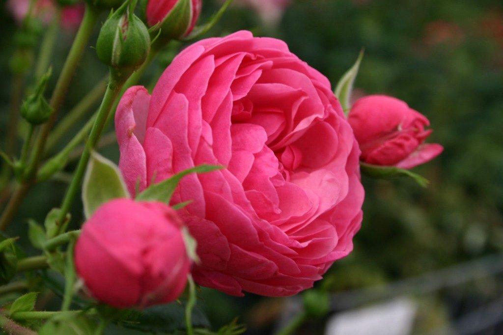 Cuidados de las rosas - Cuidados de las hortensias ...