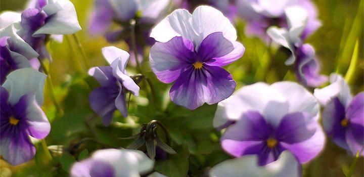 Cuidados de las violetas for Cuidados orquideas interior