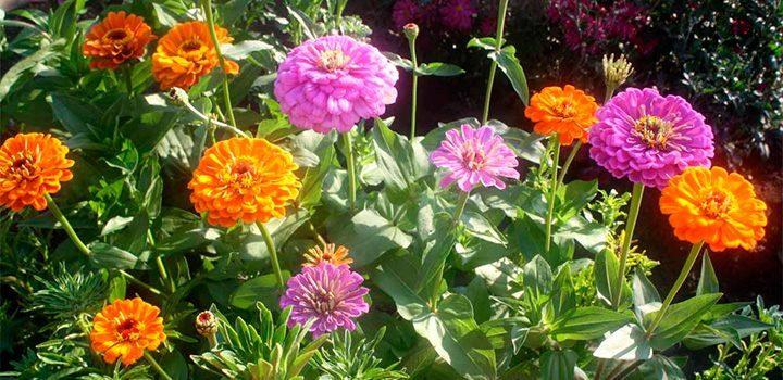 Cuidados de las zinnias - Cuidados de las hortensias ...