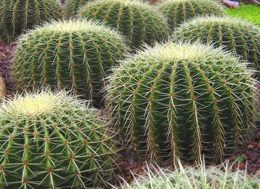 Cuidados de los cactus for Cactus cuidados interior