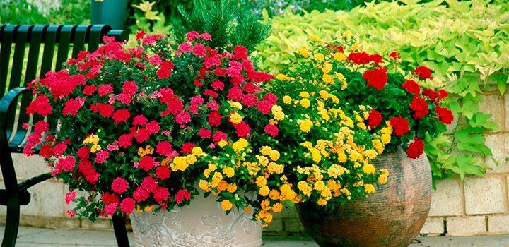 Cuidados de los geranios - Cuidados de una hortensia ...