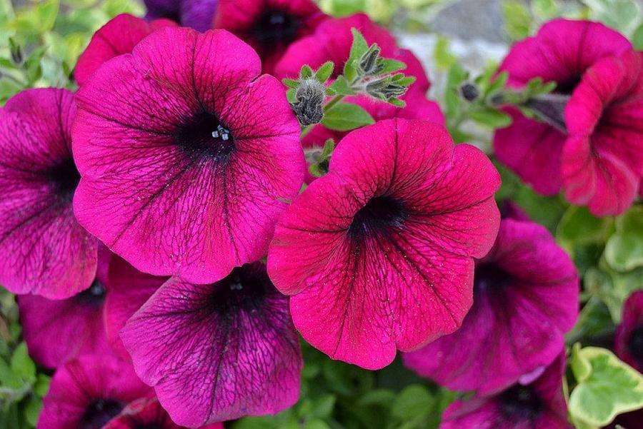 Consejos pr cticos para el cuidado de las flores en - Cuidados de las hortensias ...