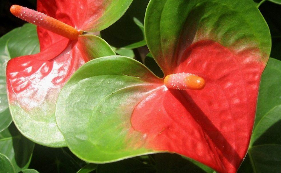 Cuidados del anturio anthurium for Anturio cuidados