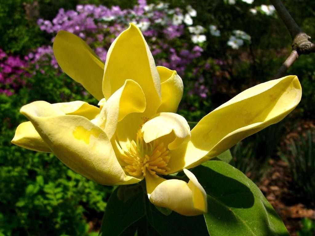 Galer a de im genes cuidados de las magnolias - Abono para magnolios ...