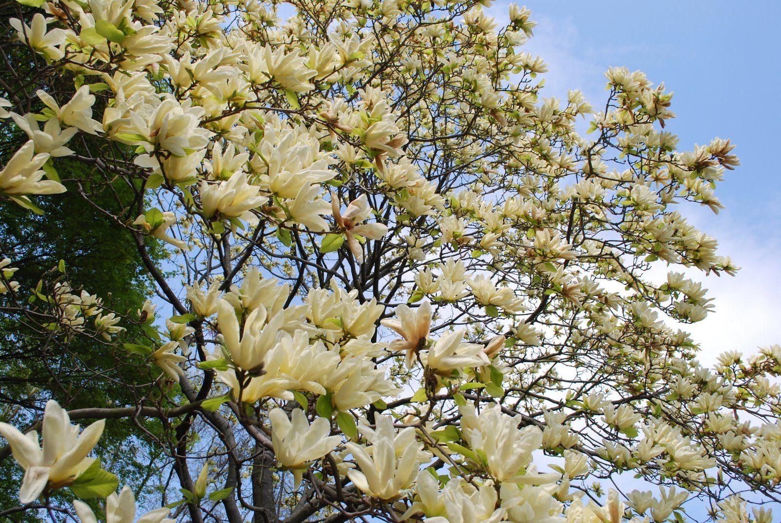 Magnolias en el rbol im genes y fotos - Abono para magnolios ...