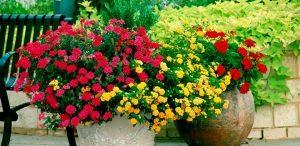 Cuidados de las hortensias