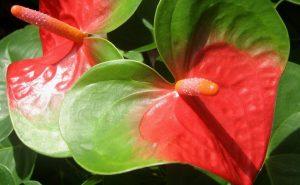 Cuidados de los claveles for Anturio cuidados